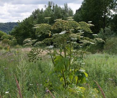 Trujące rośliny w Polsce: Przykłady i zalecenia