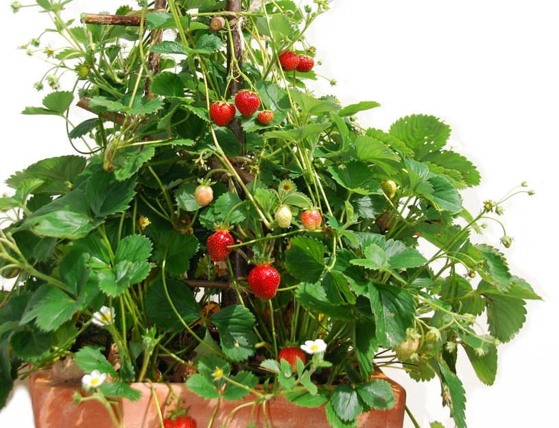 Truskawka pnąca jest łatwa w uprawie /123RF/PICSEL