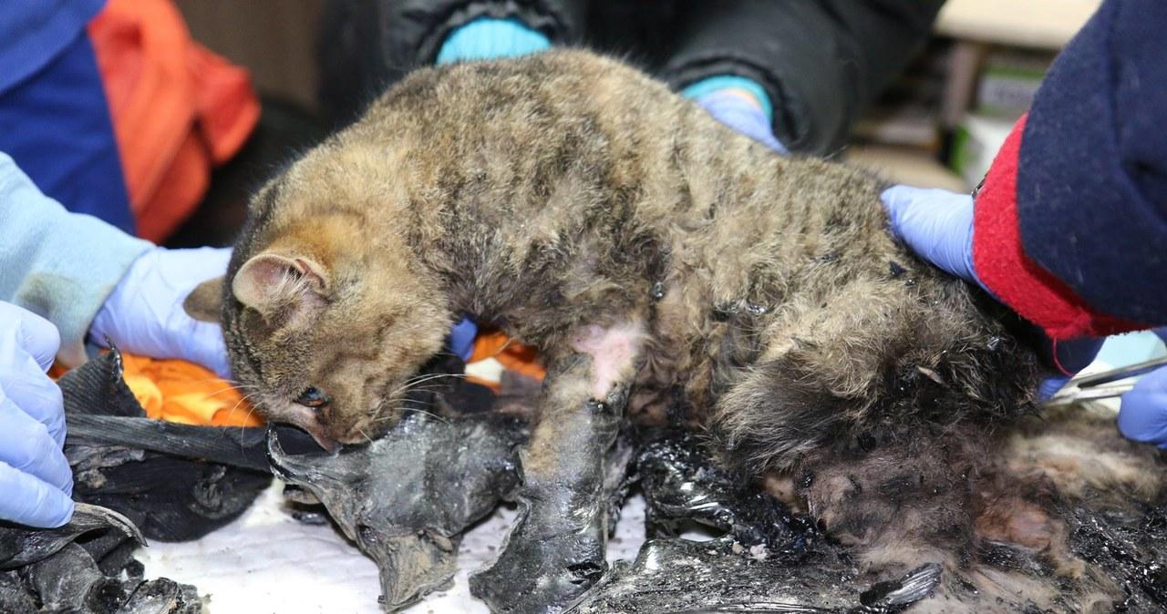 Trwa walka o życie kotów, które wpadły do płynnego asfaltu