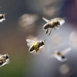 Trwają prace nad sztuczną pszczołą