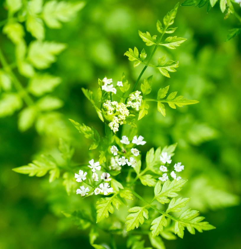 Trybula ogrodowa to roślina łatwa w uprawie /123RF/PICSEL