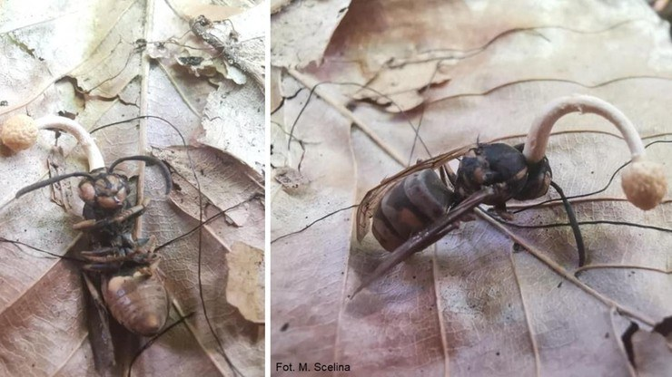 Trzeba mieć sporo szczęścia, by grzyba wypatrzeć w polskim lesie /Lasy Państwowe /