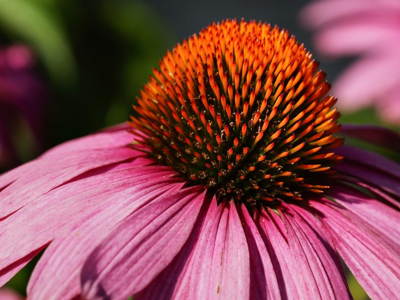 Trzeba uważać, by nie pomylić jeżówki purpurowej (pospolitej) z ozdobnymi odmianami tej rośliny. Tylko ta pierwsza ma lecznicze właściwości. /123RF/PICSEL