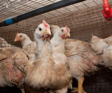Trzeba zabić trzy tysiące kur - ptasia grypa na fermie pod Rostockiem