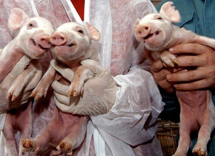 Trzy sklonowane świnki. Harbin (Chiny), grudzień 2006 /AFP