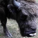 Trzy żubry opuściły rezerwat w Jankowicach. Leśnicy ostrzegają