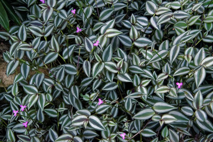 Trzykrotka jest jedną z popularniejszych roślin doniczkowych /123RF/PICSEL