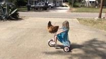 Trzylatka jeździ na rowerku… z kurą