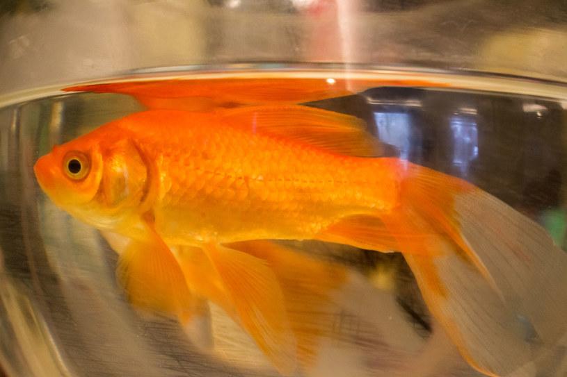Trzymanie rybki w szklanej kuli to wyjątkowe okrucieństwo /123RF/PICSEL