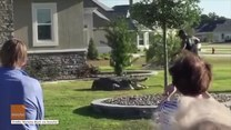 Trzymetrowy aligator w ogródku. Szukał partnerki