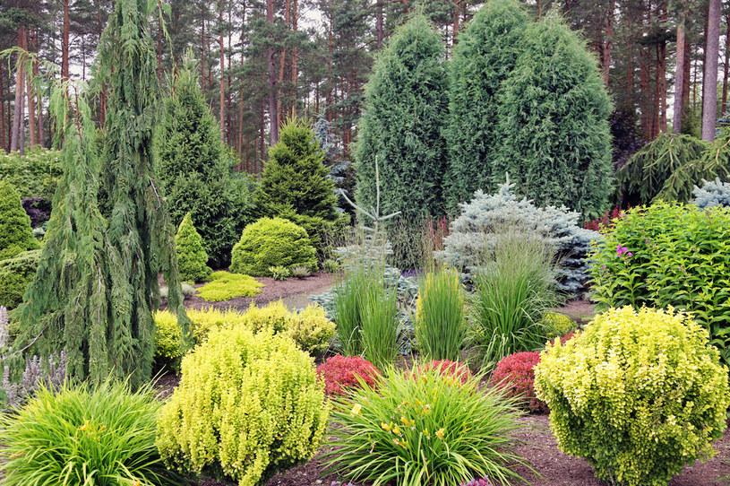 Tuja pięknie zdobi ogród /123RF/PICSEL
