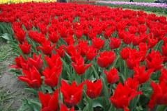 Tulipanowe szaleństwo w ogrodzie botanicznym