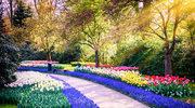 Tulipanowy sen