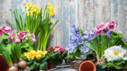 Tulipany i żonkile – nie tylko na świąteczny stół