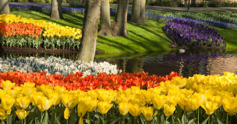 Tulipany lubią słońce, ale jesienią można je sadzić pod drzewami liściastymi /123RF/PICSEL