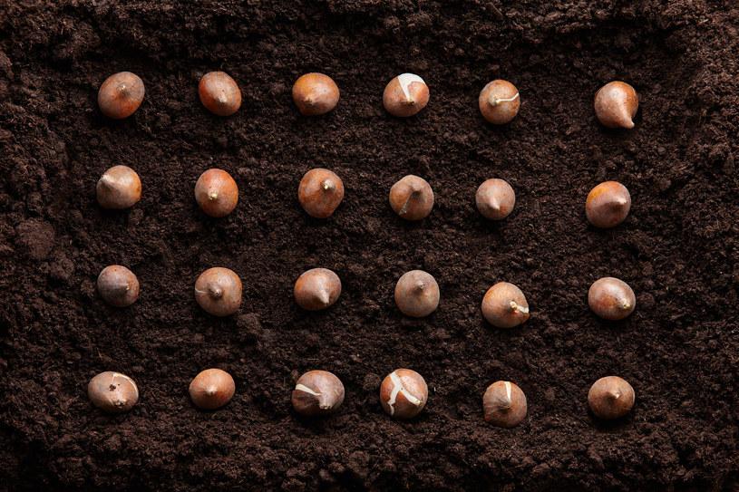 Tulipany najlepiej prezentują się zasadzone w grupach /123RF/PICSEL