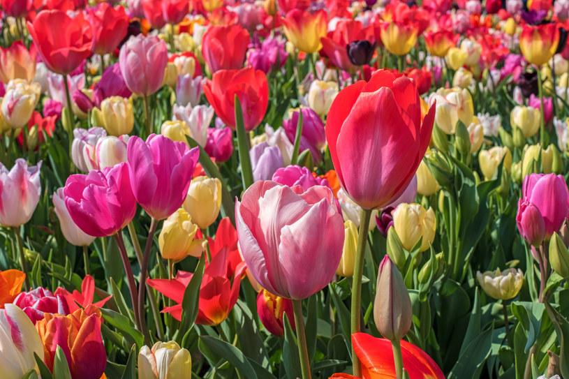 Tulipany należy sadzić jesienią /123RF/PICSEL