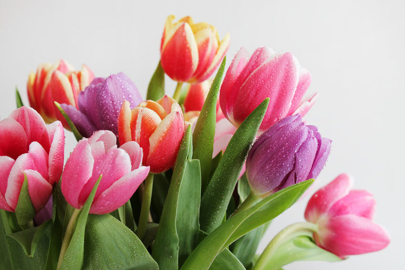 Tulipany sprawdzają się jako kwiaty cięte i doniczkowe /123RF/PICSEL
