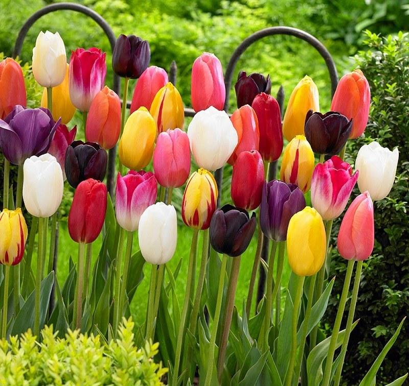 Tulipany /materiały promocyjne