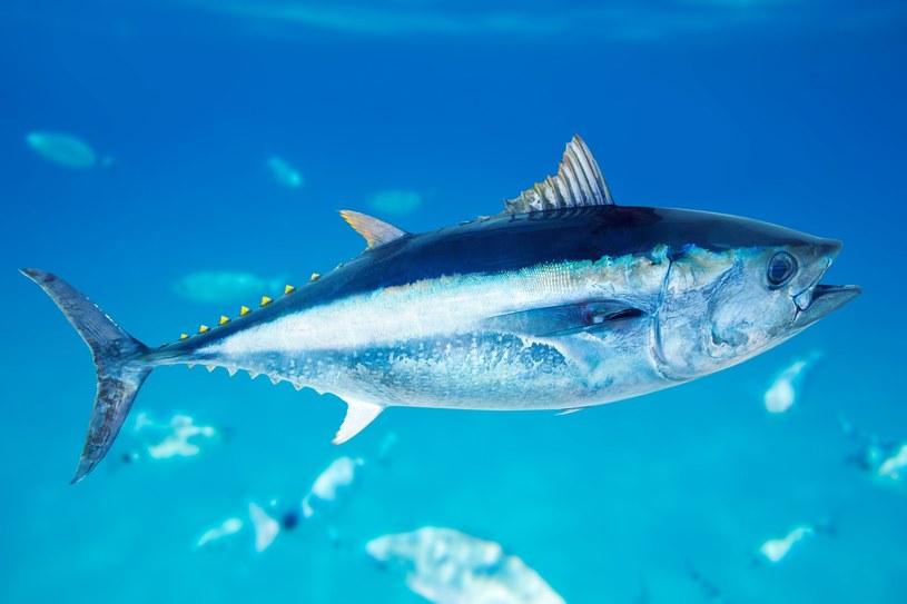Tuńczyk jest najdroższą rybą na świecie /123RF/PICSEL