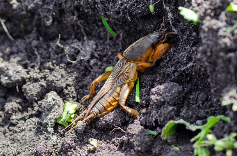 Turkuć podjadek podgryza korzenie roślin /123RF/PICSEL