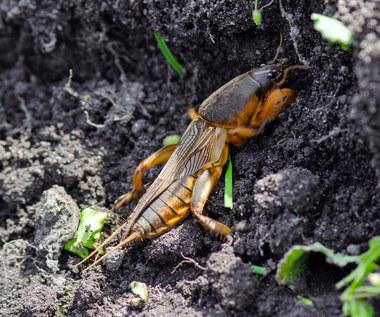 Turkuć podjadek: Potrafi zamienić ogród w ruinę? Jak go zwalczać?