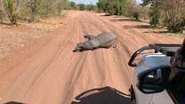 Turyści musieli się zatrzymać. Na ich drodze zastali słoniątko
