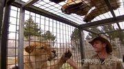Turyści zamknięci w klatce, a wkoło... wygłodnałe lwy