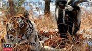 Tygrys dostał kozła na obiad. Zamiast go jeść, zaprzyjaźnił się z nim