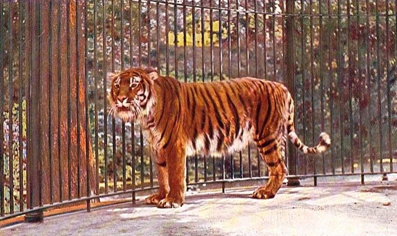 Tygrys kaspijski to genetyczny bliźniak tygrysa syberyjskiego /materiały prasowe
