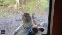Tygrys rzucił się na chłopca w zoo. Na szczęście...