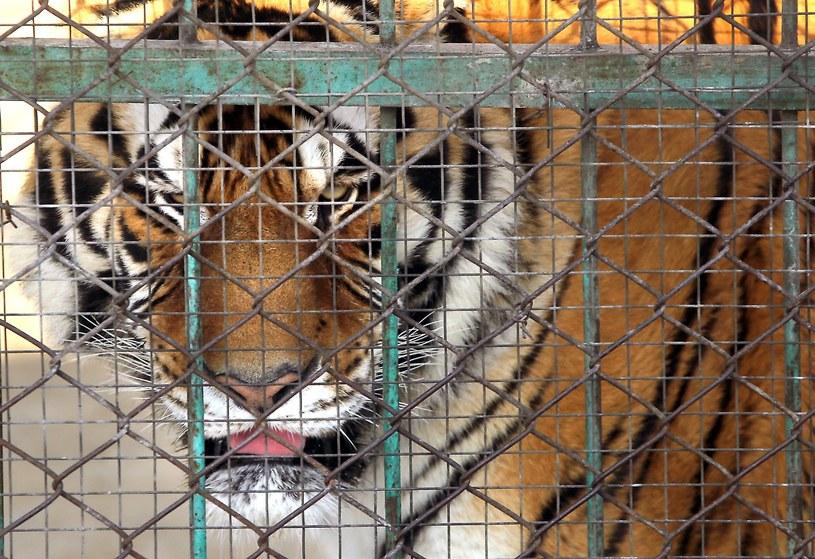 Tygrys syberyjski, zdj. ilustracyjne /Stephen Shaver /East News