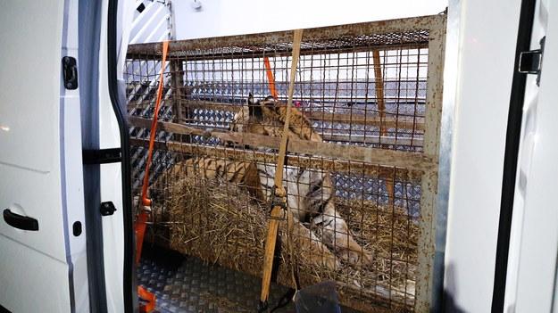 Tygrys w klatce przetransportowany do zoo w Poznaniu /ZOO Poznań /PAP