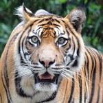 Tygrys zaatakował człowieka w australijskim zoo