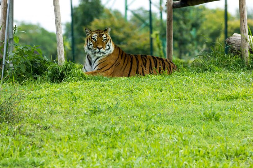 Tygrys, zdj. ilustarcyjne /123RF/PICSEL