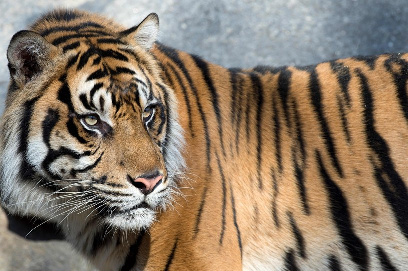 Tygrys (zdjęcie ilustracyjne) /JOHN MACDOUGALL /AFP