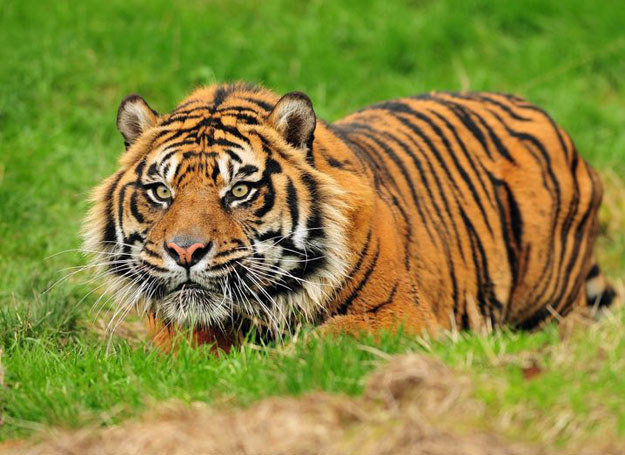 Tygrys /123RF/PICSEL