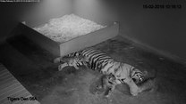 Tygrysica przytula swoje potomstwo