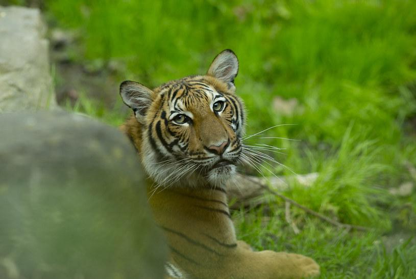 Tygrysica z nowojorskiego zoo zakażona koronawirusem / Andrew Lichtenstein/Corbis /Getty Images
