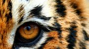 Tygrysie oko