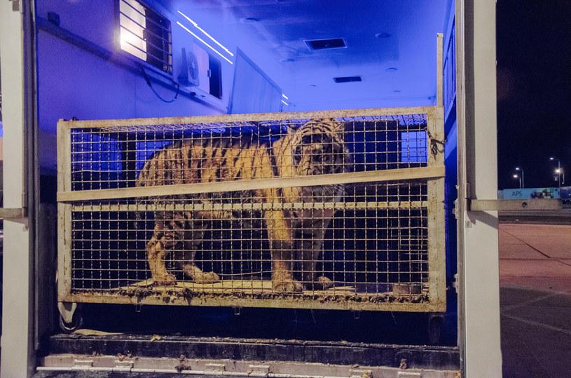 Tygrysy były w podróży od 22 października /Ryszard Godlewski /Reporter