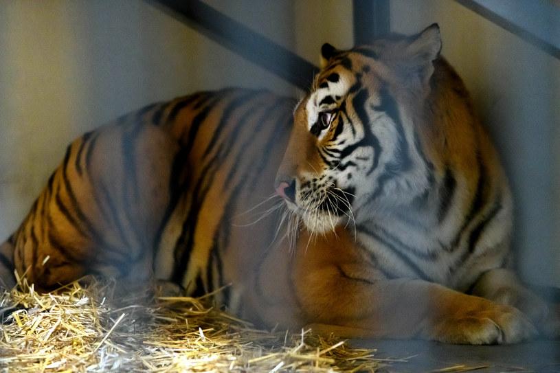 Tygrysy, których transport zatrzymano na polsko-białoruskiej granicy, trafiło do poznańskiego ogrodu zoologicznego /Michał Kaczmarek /East News