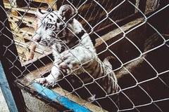 Tygrysy, małpy, ptaki. Tysiące zwierząt skonfiskowanych przez Interpol