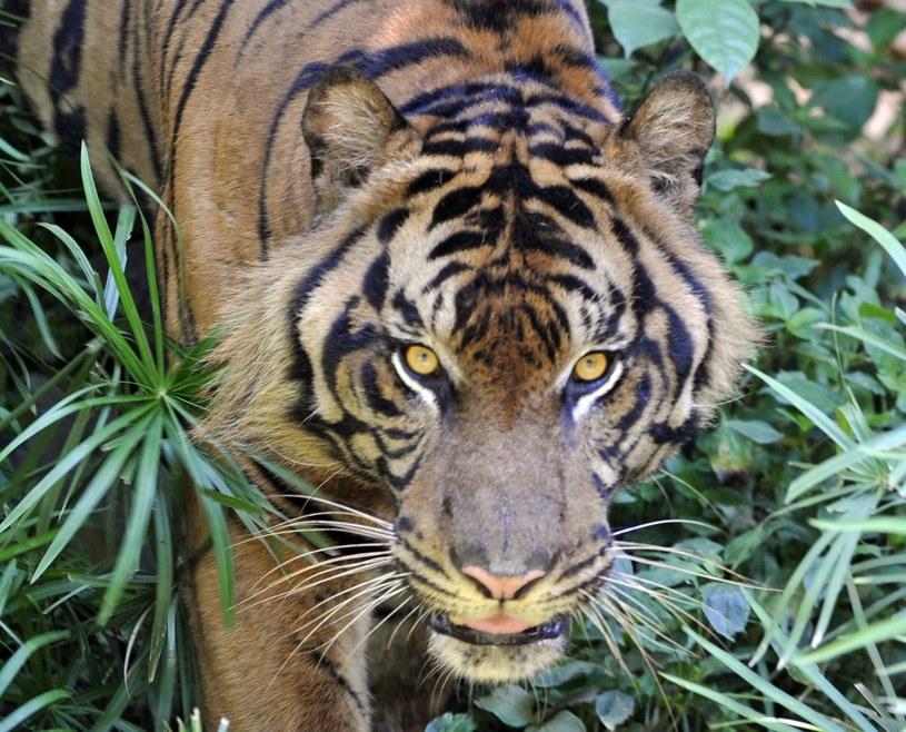 Tygrysy osaczyły w Indonezji pięciu mężczyzn /AFP