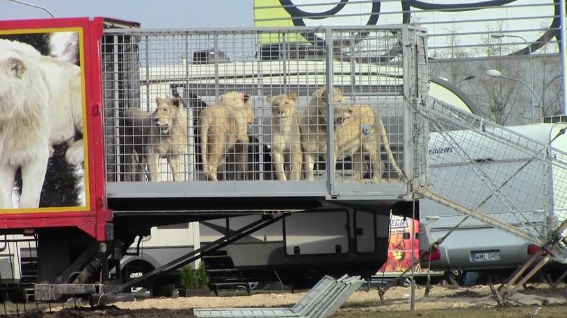 Tygrysy w klatce jednego z polskich cyrków /Koalicja Cyrk Bez Zwierząt /materiały prasowe