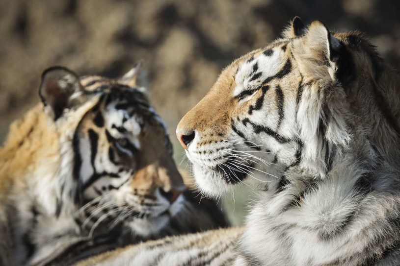Tygrysy, zdjęcie ilustracyjne /Marc Piscotty /AFP