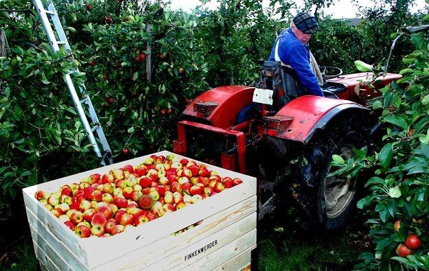 Tylko Chiny i USA więcej zbierają jabłek /© Panthermedia