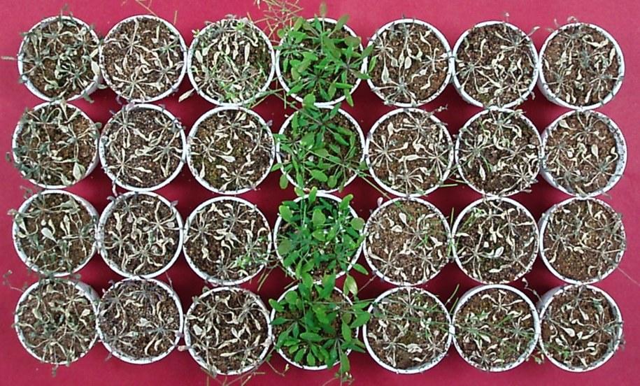 Tylko rośliny podlewane kwasem octowym przetrwały okres suszy /RIKEN /materiały prasowe