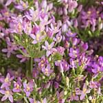 Tysiącznik: Pięknie dekoruje ogród, świetnie działa na trawienie i serce
