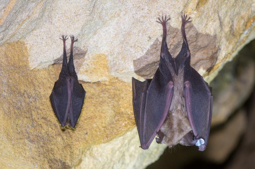 U nietoperzy w Kambodży i Japonii znaleziono wirusy spokrewnione z SARS-CoV-2 /123RF/PICSEL